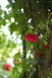 赤きバラにときめいて - aya's photo