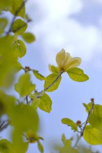 Yellow Magnolia - ∞ infinity ∞