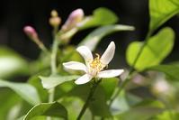 レモンの花が開花しています - 神戸布引ハーブ園 ハーブガイド ハーブ花ごよみ