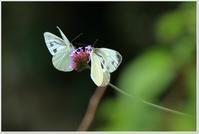 蝶のフォト雑記 - ハチミツの海を渡る風の音