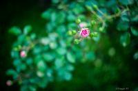 The rose - Triangle NY