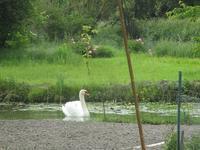 白鳥のべべたち♡2019 - フランス Bons vivants des marais Ⅱ