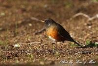 地元の公園で「オオアカハラ」さん♪ - ケンケン&ミントの鳥撮りLifeⅡ