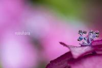 しずく紫陽花とジュエリータワー。 - MIRU'S PHOTO