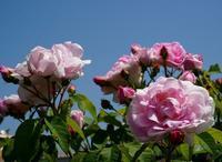 花菜ガーデンの薔薇~鉢植え - ソナチネアルバム