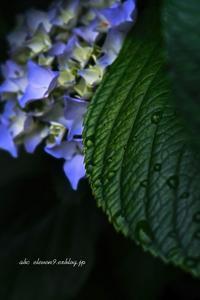 Hydrangea otaksa - A  B  C