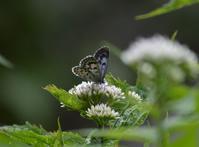 42オオゴマシジミ「蝶図鑑」 - 超蝶