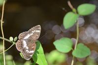 アサマイチモンジの産卵 - 堺のチョウ
