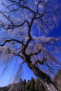 桜咲く奈良2019室生小原の極楽桜 - 花景色-K.W.C. PhotoBlog