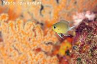 予想に反して~マルスズメダイ幼魚~ - 池ちゃんのマリンフォト