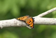 ウラクロシジミ空振りの記 - 蝶のいる風景blog