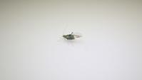 【マイクロスコープの斉藤光学です】羽虫を動画で撮影しました。 - 信頼の青いボディー マイクロスコープの斉藤光学