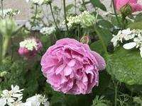 バラからラベンダー、アジサイへと咲き進むフロントガーデン - 小さな花アトリエ