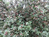 フェイジョア - だんご虫の花