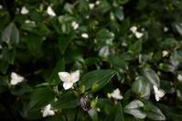 夏の白花グラウンドカバー:トキワツユクサ(常盤露草) - 世話要らずの庭