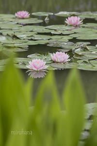 モネの池のスイレンと我が家の箱入り娘。 - MIRU'S PHOTO