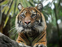 スマトラトラアイナ - 動物園放浪記