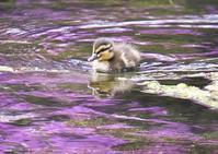 マガモ(戦場ヶ原) - くまさんの鳥撮り