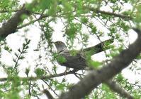 戦場ヶ原の鳥さんたち(カッコウ、キセキレイ。ホオアカ、ニュウナイスズメ) - くまさんの鳥撮り