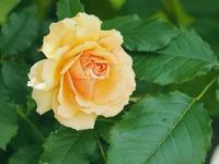 薔薇、薔薇、薔薇のあしかがフラワーパーク4 - 光の音色を聞きながら Ⅳ