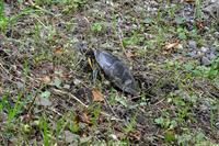 公園の亀が産卵中。他、花菖蒲など - ぶらり散歩 ~四季折々フォト日記~