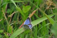 幻の蝶 オオルリシジミ その2 - 味わう瞬間 (とき)