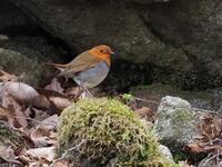コマドリが撮れました - コーヒー党の野鳥と自然 パート2