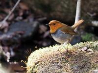 コマドリがここで巣作りをしてました。 - コーヒー党の野鳥と自然 パート2