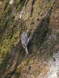 岩肌のキバシリ - コーヒー党の野鳥と自然 パート2