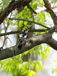 野鳥の森にいたアカゲラ - コーヒー党の野鳥と自然 パート2