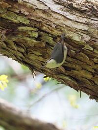 野鳥の森でゴジュウカラ - コーヒー党の野鳥と自然 パート2