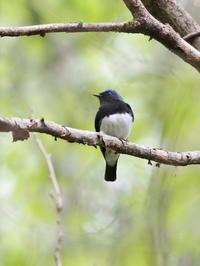 軽井沢にいたオオルリ - コーヒー党の野鳥と自然 パート2