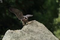 何かを見つけたハヤブサの子供大胆不敵に飛び出したが! - 野鳥公園