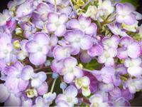 いろんな紫陽花があるね - 白雪ばぁばのかんづめ