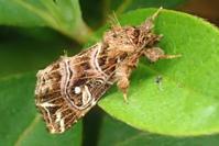 キスジツマキリヨトウ? Callopistria japonibia - 写ればおっけー。コンデジで虫写真