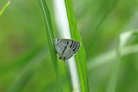 ミズイロオナガシジミ梅雨入り間近 - 蝶のいる風景blog