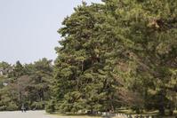 京都御所の松 - YOSHIの日記
