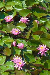 スイレンの花 - かたくち鰯の写真日記2