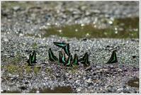アオスジアゲハの集団 - ハチミツの海を渡る風の音