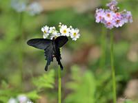 九輪草とアゲハチョウたちオナガアゲハ - 蝶鳥写楽