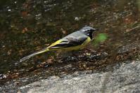 暑い時はやっぱり水浴び~キセキレイさん - 鳥と共に日々是好日