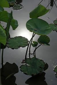 今日の足立堀之内公園もうすぐ古代ハスが咲き始めます - みるはな写真くらぶ