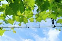 シャインマスカットの花切 - ~葡萄と田舎時間~ 西田葡萄園のブログ