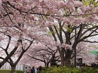 タイムスリップ4月1日桜を訪ねて2/3 - 一枚の写真