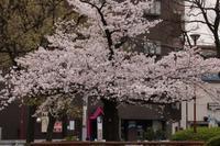 タイムスリップ4月1日桜を訪ねて1/3 - 一枚の写真