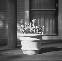 容赦ない西日に擬態化する鉢植えのチューリップ - Film&Gasoline