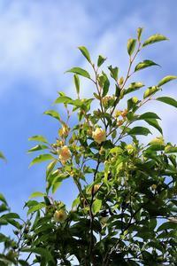 ヒメシャラが咲きました - 晴れ時々そよ風