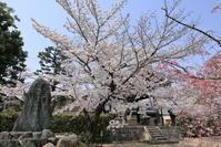 妙顕寺と本法寺の桜たち - ぴんぼけふぉとぶろぐ2