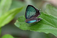 仕事前にミドリシジミ下見に・・・ - 蝶と自然の物語