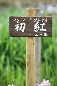 花菖蒲初紅(ハツクレナイ) - 平凡な日々の中で